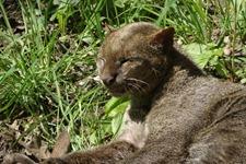 Spay jaguarondi