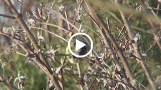 Pimpelmees heeft een zonnepit open gevogeld