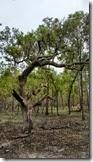 Gnarly oak