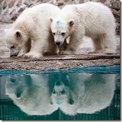 polar-bear_1636808ivapvaruni_royevrucheyKrasnayark