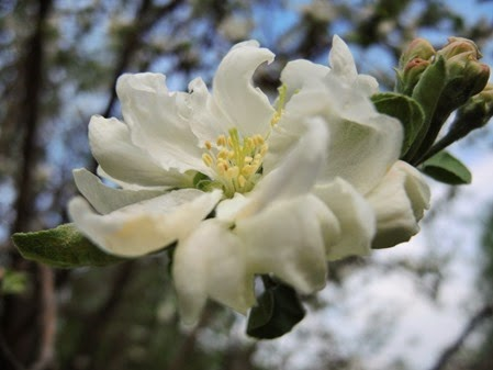 20150510_083901-apple-blossom