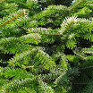 nordman_fir_foliage09.jpg