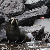 Lobo marinho de pele - Rabida - Galápagos