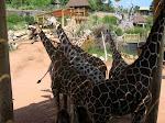 Giraffe Cliques