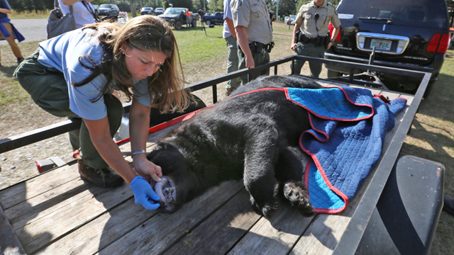 Florida bear hunt: FWC wildlife biologist checks the teeth of a large black bear brought to the rock Springs check station. As Florida's first bear hunt in more than four decades is underway, hunters are starting to arrive at check stations throughout Central Florida with their bears Saturday, 24 October 2015. Photo: Red Huber / Orlando Sentinel