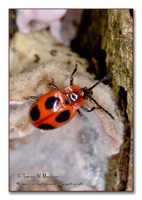 Bug Affair 7 Lier False LB