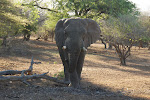 Bull African elephant of enormousness that chased our van and freaked us out, then drank the water from the bird bath at camp and grazed on the trees – Mkhuze Game Reserve