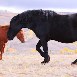 Strolling in the High Plains by Kate Purdy - Animals Horses ( two horses, black horse, fresian, nature, work horse, animals, chestnut, colorado, horses,  )