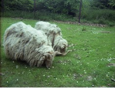 1980.05.25-006.08 moutons mérinos