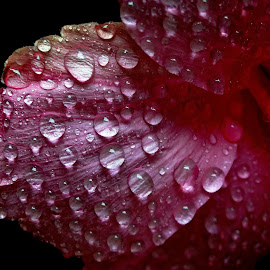 Drops on petal by Asif Bora - Nature Up Close Natural Waterdrops