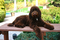 A Gorgeousdoodles Elegant chocolate Labradoodle at her lovely family home in CA.