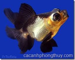 ca-vang-gold-fish (2)