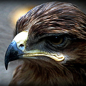 Eagle by Anumita Das - Novices Only Wildlife ( bird, wild, eagle )