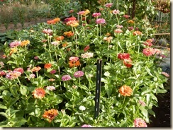 zinnia patch