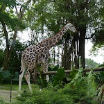 Giraffe at Singapore Zoo in the Wild Africa Zone