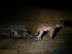 Spotted hyenas (photo by Clare) - night drive at Kruger National Park