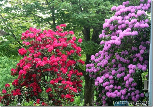 Rhododendrons 5_19