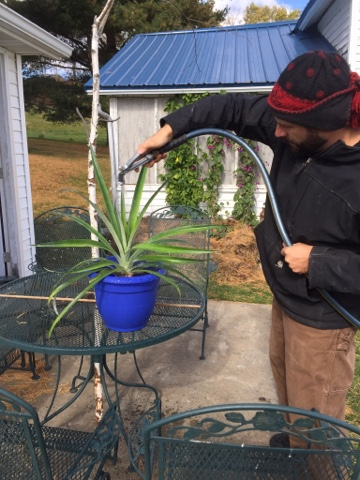 don't forget to water her after you pot up your pineapple!