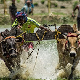 cow race by Masud Rubel - Sports & Fitness Other Sports