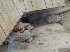 201506.21-017 tortues sillonnées