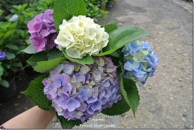 陽明山繡球花 (83)