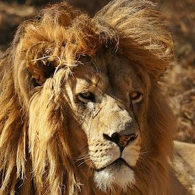 Mature Male by Charmane Baleiza - Animals Other Mammals ( charmane baleiza, lion, big cats, wildlife, male lion )
