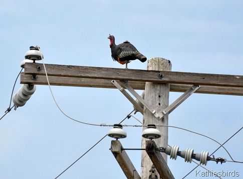 2. fake turkey on Brunswick Landing pole-kab
