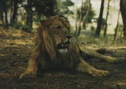 Estérel lions