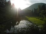 Nasze pole ryżowe coraz zieleńsze...
