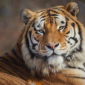Tiger by Jiri Cetkovsky - Animals Lions, Tigers & Big Cats ( look, beast, cat, tiger, animal )