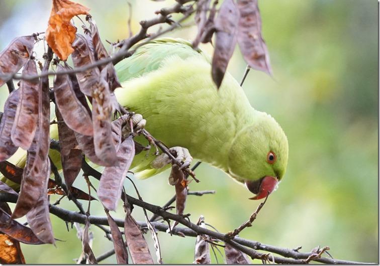 paris parrot 111815 00002