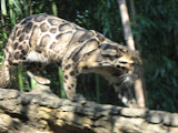 A clouded leopard at the Nashville Zoo 09032011a
