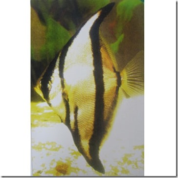 be-ca-canh-striped_mono_striped_fingerfish_cachimdoisoc001-be-thuy-sinh