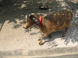 A goat at the old farm at the Nashville Zoo 09032011a