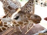 Giraffes love their crackers