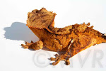 Joel - Yellow Tiger Crested Gecko from moonvalleyreptiles.com