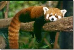 z red panda