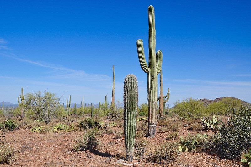 normal-saguaros-1