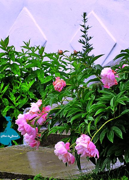 trandafiri manastirea suzana