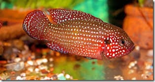be-ca-canh-jewel_cichlid_african_jewelfish_cakimcuongdo-be-thuy-sinh