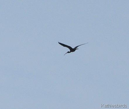 6. glossy ibis-kab