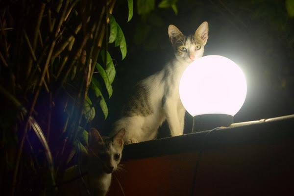 коты, котики, кошка, фонарь