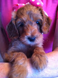 Puppette female red beauty Labradoodle.
