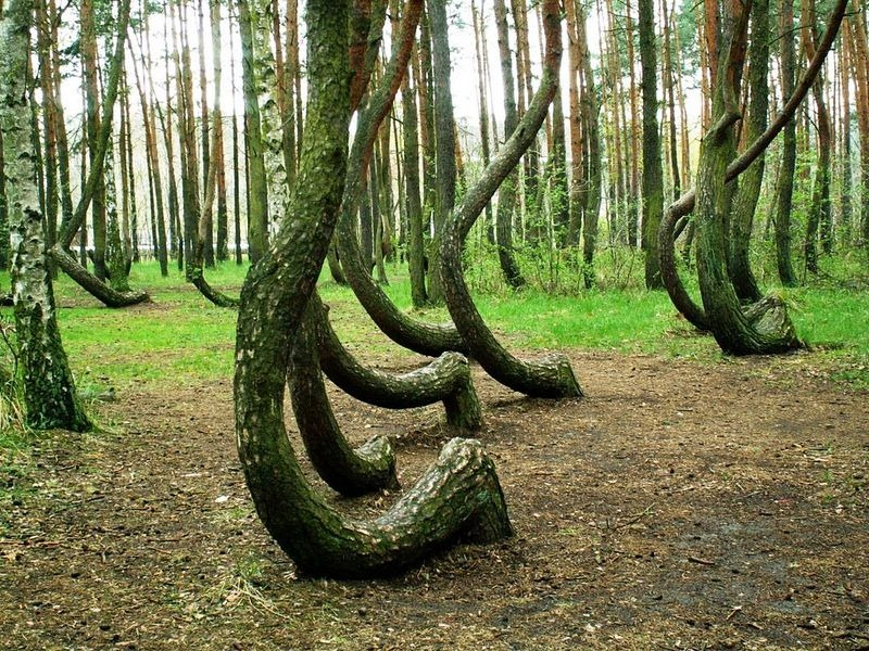 crooked-forest-poland-2