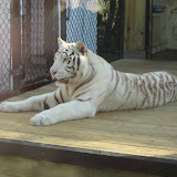TIGERS Preservation Station - Myrtle Beach - 040510 - 15