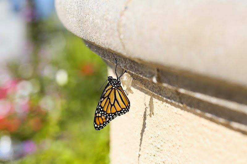 emerging monarchs-13
