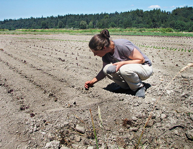Parched Earth: Siri Erickson-Brown, of Local Roots Farm in Duvall, says all the groundwater has already evaporated during the drought and heat wave of 2015. Photo: Angela Garbes / The Stranger