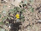 Desert Senna 4/25