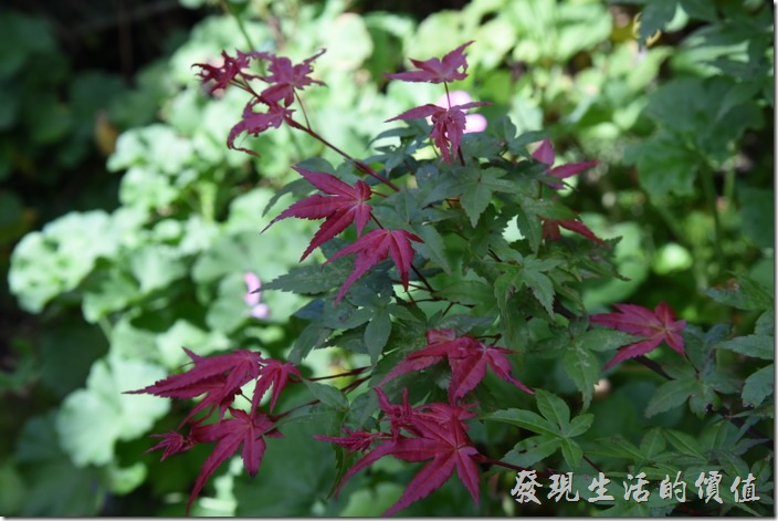南投清境-珂之幄山莊。夏天沒有大片楓紅可以欣賞,但至少還有少少的紅葉充數。