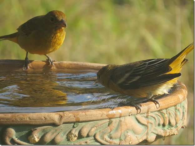 Baltimore_Oriole_Pair